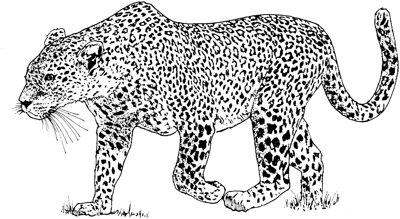 Coloriage Leopard 9711 Animaux Album De Coloriages