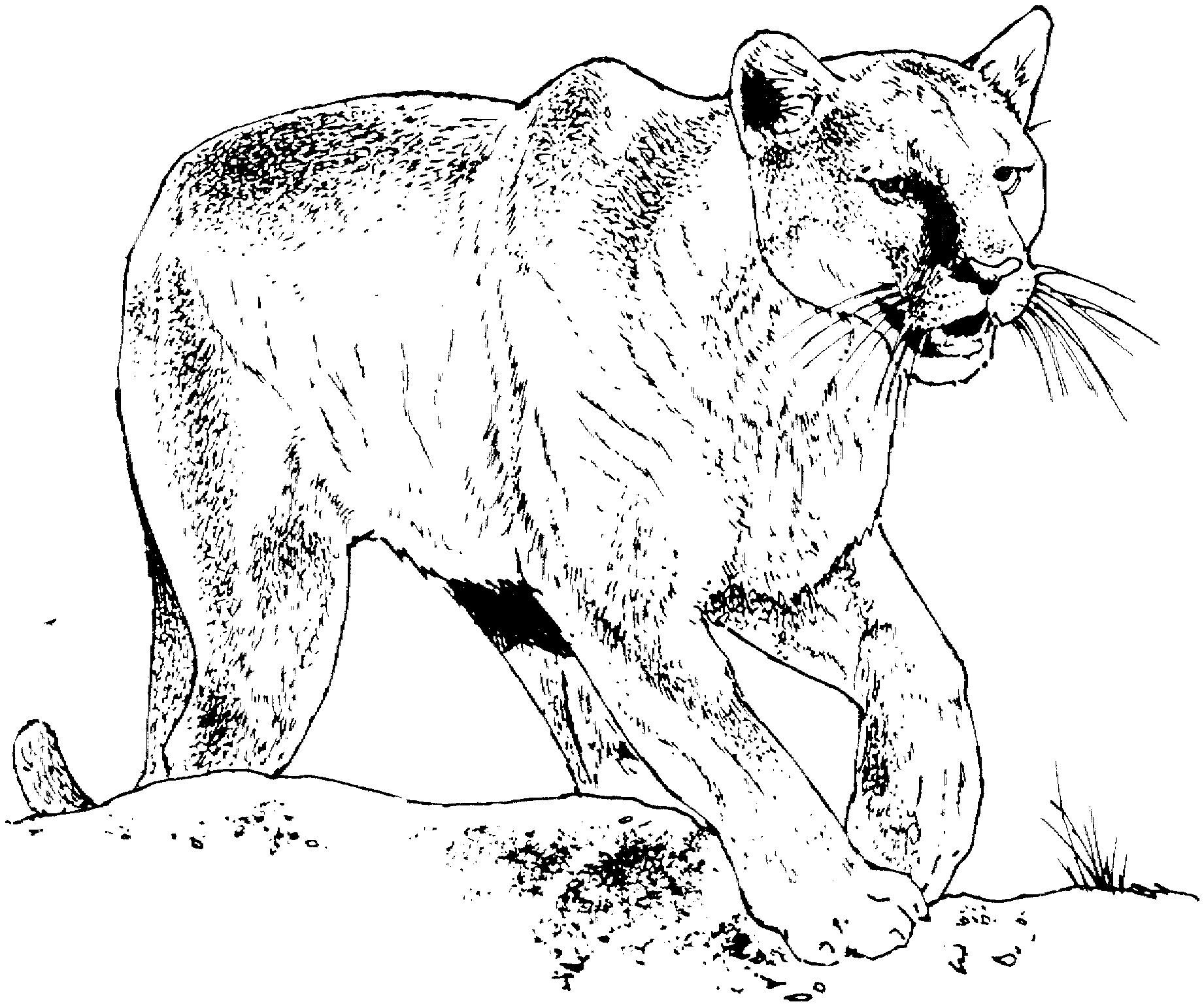 Coloriage Panthère #3 (Animaux) - Coloriages à imprimer