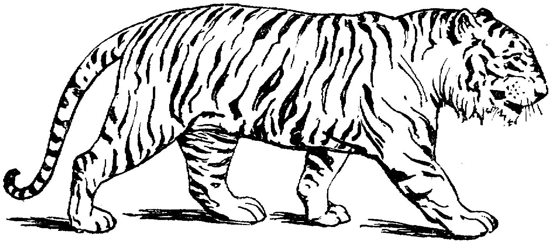 Coloriage Tigre #13588 (Animaux) - Album de coloriages